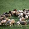 Ukraina. Owce kozy miesne 140 zl/szt,jagniecina 3 zl/kg,ser